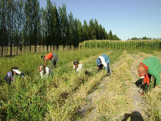 种植鹰嘴豆